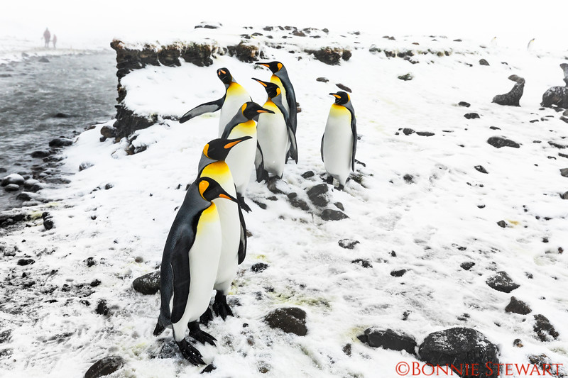 Walking to the penguin colony overlook required crossing a small river.   Here is a King Penguin greeting committee on the river's edge!