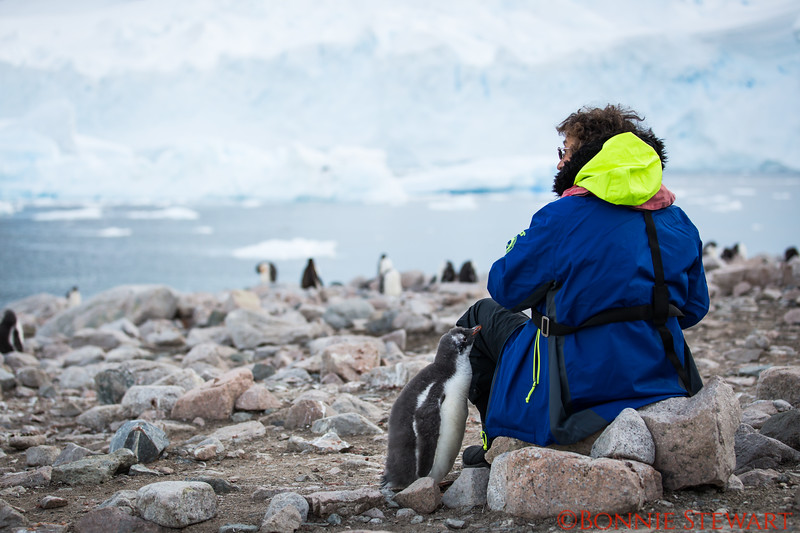 Curious Gentoo baby looks for food from a visitor