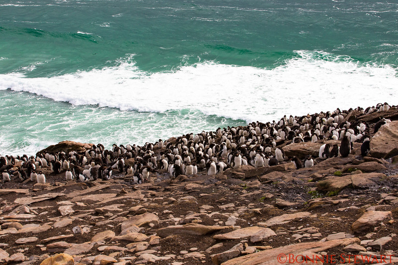 View of Rockhopper Penguin colony in New Island