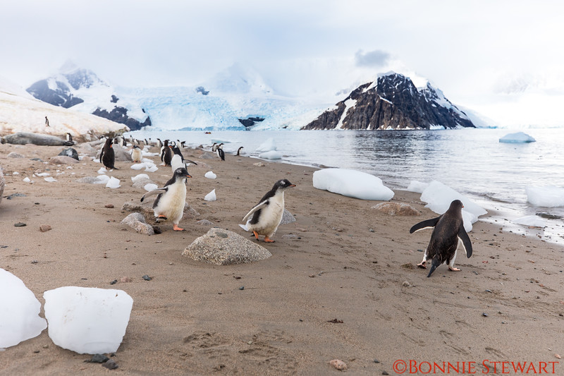Baby Gentoo Penguins run to catch up with their mom to go swimming!