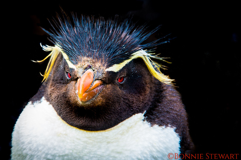 "Close-up of a Rockhopper Penguin showing distinctive red eyes and a very unusual ""hairdo""!"