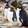Rockhopper Penguins showing their curiosity