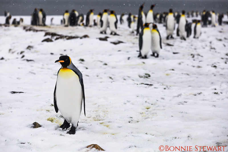 King Penguins gathering and not the least bit afraid of human visitors!