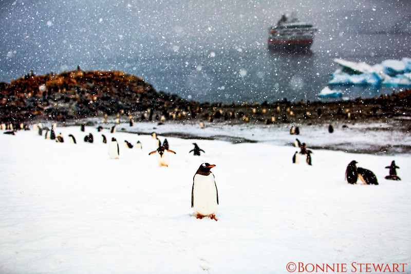 A serene view of the Gentoo penguin colony at the top of the hill with the ship and iceberg in the distance.