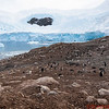 View of the Gentoo Penguin colony