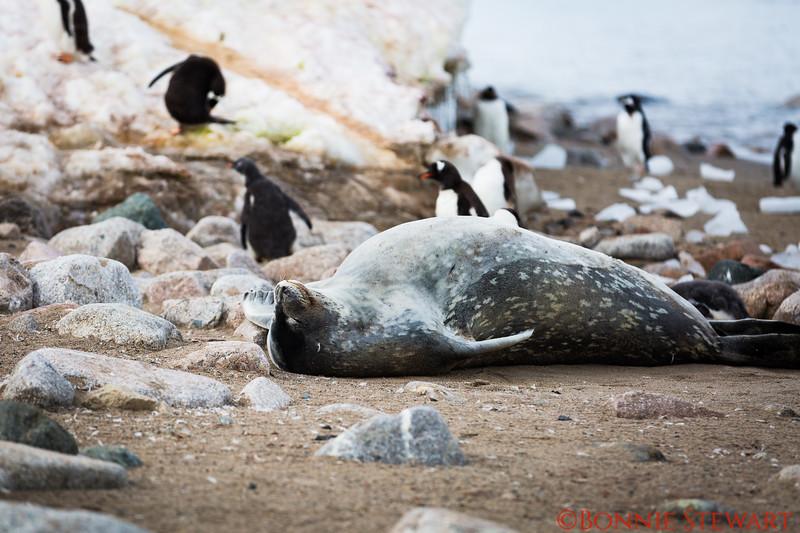 Elephant  Seal resting