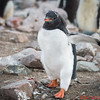 A little baby Gentoo with big orange feet