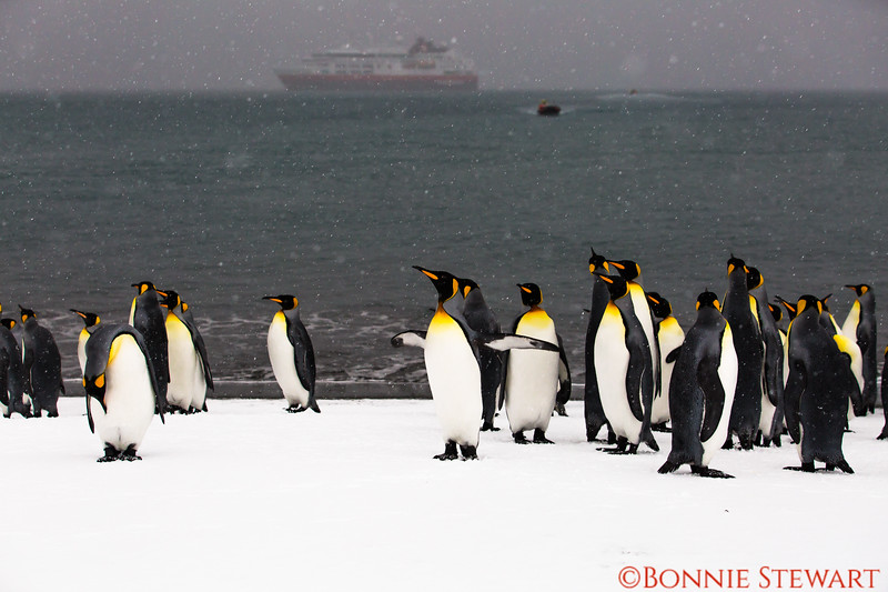 King Penguins gathering and not the least bit afraid of human visitors!  MS FRAM is in the background with a zodiac brining visitors to shore..  The weather became very bad with gale force winds and snow.