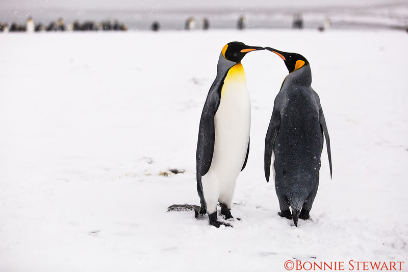 Watching the King Penguins in their colony  as they touch each other.   Seems like a form of endearment between penguins.