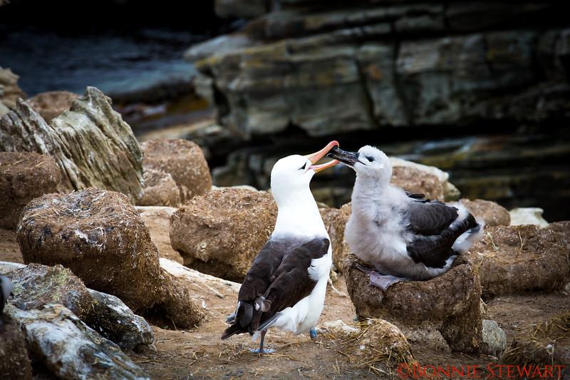 Black-browed Albatross feeding its baby