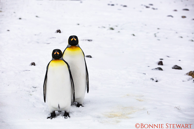 King Penguins watch their human visitors with curiosity!