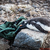 A baby Gentoo sleeps on a visitor's back pack!