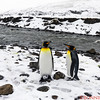 Many of the King Penguins march together in pairs - sometimes with their off spring!