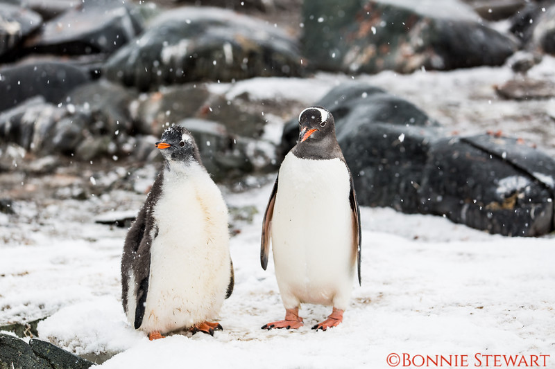 Mom and Baby Gentoo - the baby is the  fuzzy one!