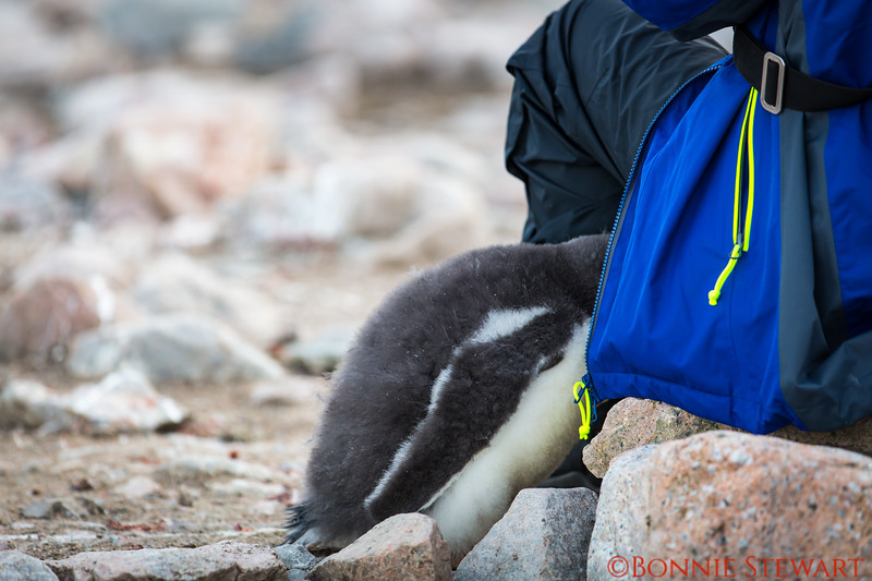 The baby Gentoo taking matters into its own control - looking for food from the human visitor!
