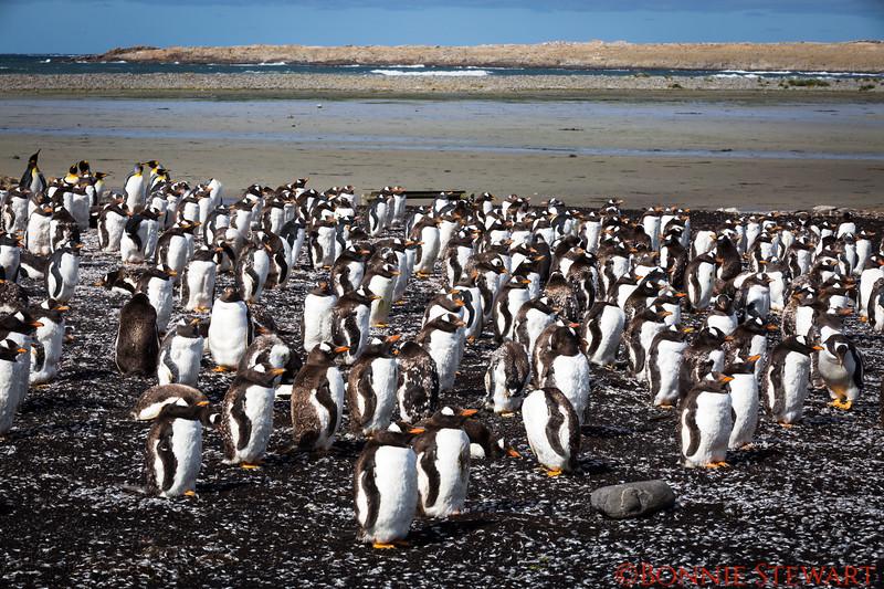 Close-up of the Gentoo Penguins