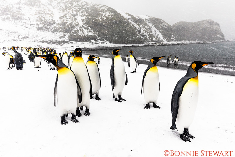 King Penguin Colony at St. Andrew's Bay greeting the human visitors!