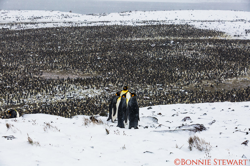 The main colony of King Penguins estimated to be about 200,000 pairs or 400,000.   It was windy and snowy and  a long walk to the hill top overlooking the thousands of penguins below.    There were several King Penguins enjoying the view with the human visitors!