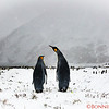 Another Pair of penguins watch their colony as the weather worsens!