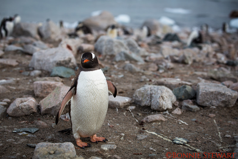 """Parent Gentoo watching the baby search for food under the human's jacket!   """"Junior - there is no food in that jacket!"""""""