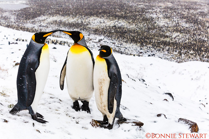 The King Penguin family is grouped again and Parents are sharing a tender moment.