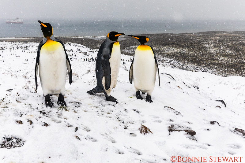 The same penguin family gathered together with the colony below and the MS Fram ship in the distance.   Snow is falling.