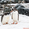 Baby Gentoo is getting food from the mom