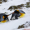 King Penguin couple sharing a moment