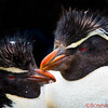 Close-up view of a pair of Rockhopper Penguins
