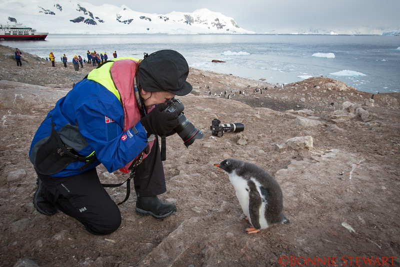 I am taking a photo of the baby Gentoo.   The camera in the background was supposed to be a prop but when I turned around the baby Gentoo was following me.