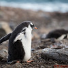 A young Gentoo Penguin