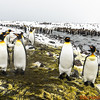 Sometimes the King penguins gather in groups of pairs but their curiosity about the human visitors is constant.