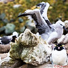Rockhopper Penguin sleeping as the Black-browed Albatross behind him decides to fly unexpectedly.   Suddenly the Penguin is shocked - next photo