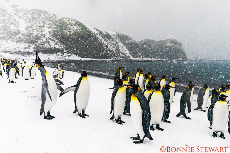 King Penguin Colony greeting human visitors and stretching for attention!