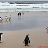 Gentoo Penguins enjoying the beach