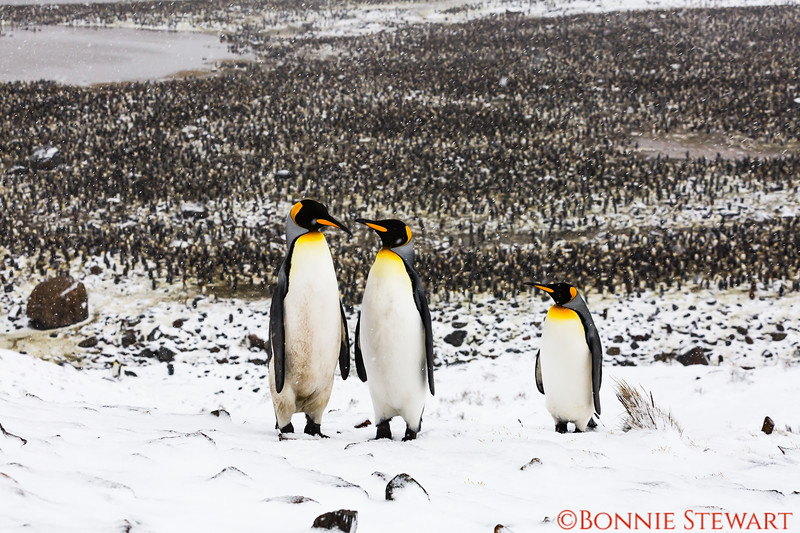 A family of three penguins is watching over the main colony.   Junior is on the right.
