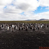 View of the Gentoo Penguin colony from their back-sides