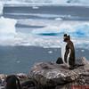 A Gentoo penguin at Neko Harbor - landing #1