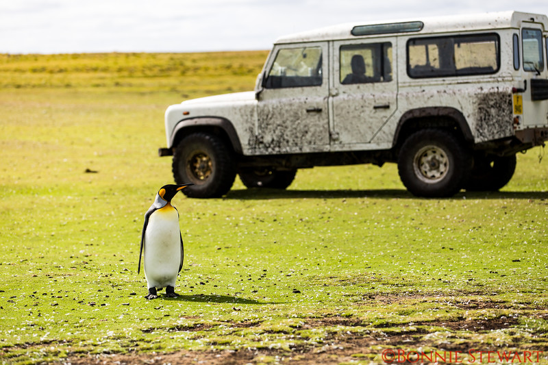 King Penguin at Bluff Cove who becomes curious about the jeep.