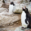 Rockhopper Penguin doing penguin things!