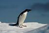 Antarctica - Adelie pinguin- 01564_JFR