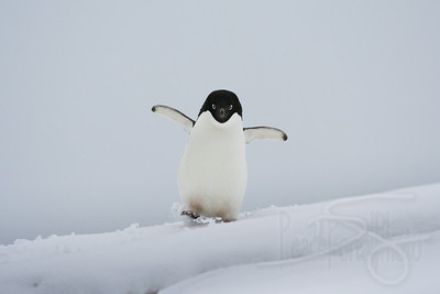 Adelie penguin near Vernadsky Station