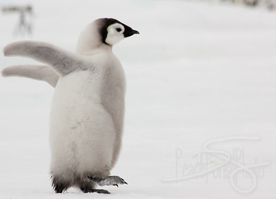 Dance. Snow Hill Island, Antarctica