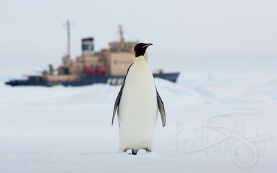 Emperor and the Icebreaker. Snow Hill Island, Antarctica