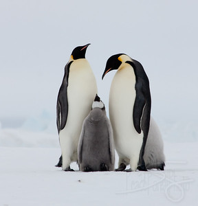Soliciting food. Snow Hill Island, Antarctica