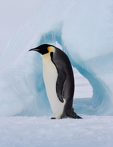 Emperor penguin walking in front of melting iceberg and icecave.