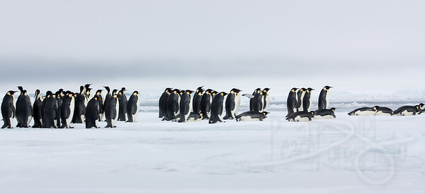 Marching toward the sea. Snow Hill Island, Antarctica