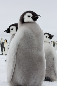 Gang of emperor penguin chicks. Snow Hill Island, Antarctica