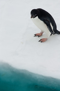 Adelie Penguin pondering entry into Leopard seal infested waters. Snow Hill Island, Antarctica
