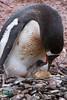 Birth of a Penguin 4